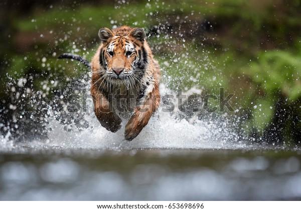 Tigre de Sibérie, Tigre du Tigre de Panthera, photo en angle bas en vue directe, courant dans l'eau directement à la caméra avec de l'eau qui clignote autour. Attaquer le prédateur en action. Tigre dans l'environnement de la taïga.