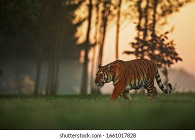 Siberian tiger (Panthera tigris tigris) with the arrival of dusk set out to hunt