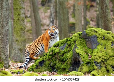 The Siberian tiger (Panthera tigris tigris) also called Amur tiger (Panthera tigris altaica) in the forest, Young female tiger in the forest.