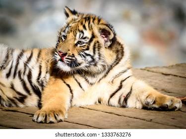 The Siberian tiger (Panthera tigris tigris) also called Amur tiger (Panthera tigris altaica) in the ZOO