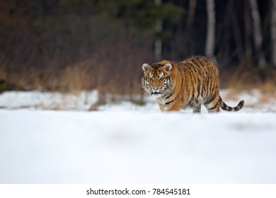 Siberian tiger (Panthera tigris tigris) also called Amur tiger. The tiger is reddish-rusty, or rusty-yellow in color, with narrow black transverse stripes.
