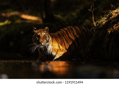 Siberian tiger (Panthera tigris tigris) female goint to creek with sun shine at the dark forest