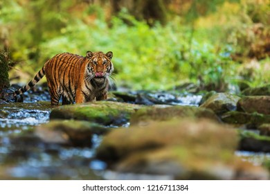 Siberian tiger (Panthera tigris tigris) at forest creek in the wilderness