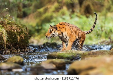 Siberian tiger (Panthera tigris tigris) going to jump out of the water stream ashore