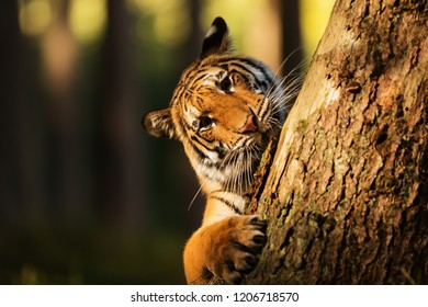 Siberian tiger (Panthera tigris tigris) is plying with tree