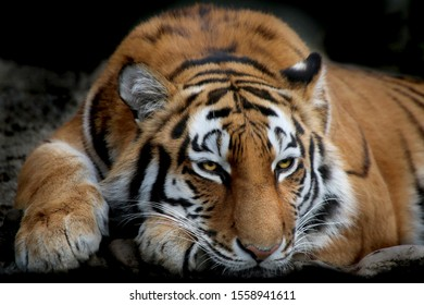 Siberian tiger (Panthera tigris tigris) portrait from the front