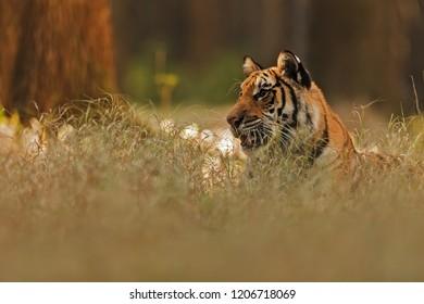 Siberian tiger (Panthera tigris tigris) is resting at old grass in wilderness