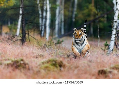 Siberian tiger (Panthera tigris tigris) runs in its natural environment Siberian taiga