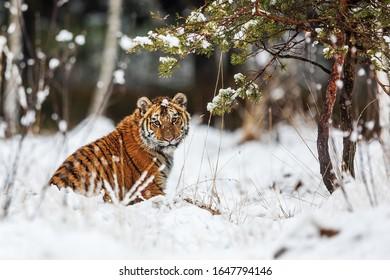 Siberian tiger Panthera tigris tigris sitting in snow under pine tree