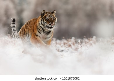 Siberian tiger (Panthera tigris tigris) at snow