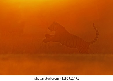 Siberian tiger (Panthera tigris tigris),female silhouette in very bright sunlight with very low contrast