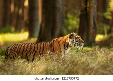 Siberian tiger (Panthera tigris tigris) in the wild forest taiga
