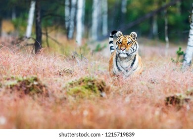 Siberian tiger (Panthera tigris tigris) at wilderness Siberian taiga nature habitat