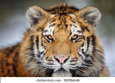Siberian tiger portrait. Aggressive stare face meaning danger for the prey. Closeup view to angry  expression.