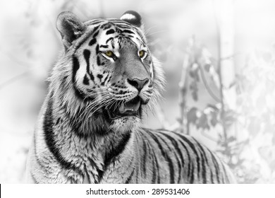 Siberian tiger portrait black and white