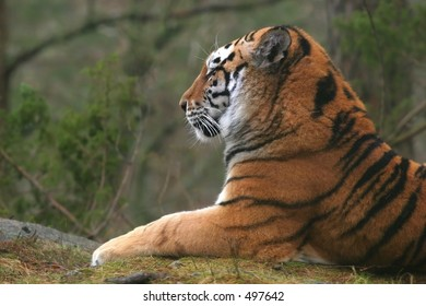 Siberian Tiger profile