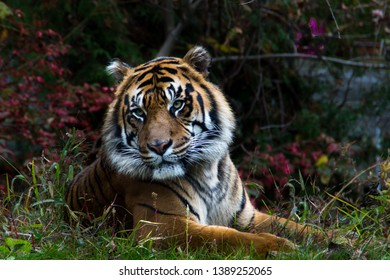 Siberian tiger relaxing in a zoo enclosure.