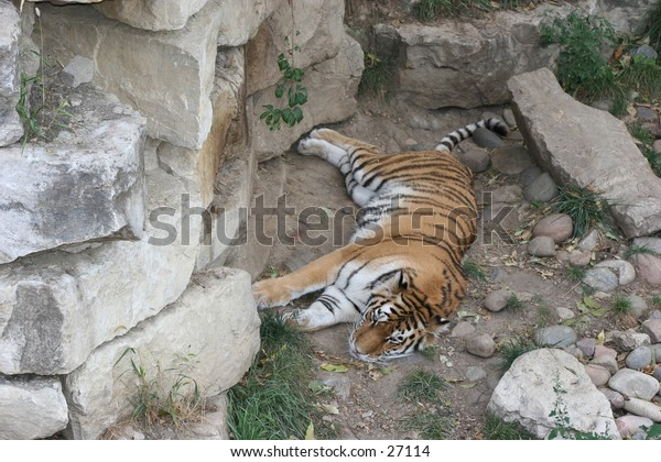 Siberian Tiger resting on the ground.