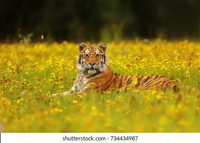 Siberian tiger is resting in the Taiga meadow