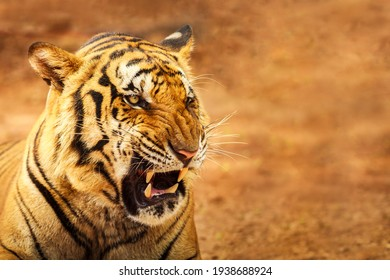 Siberian Tiger Roaring with brown background