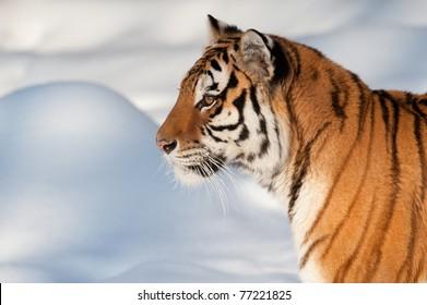 Siberian tiger running on snow