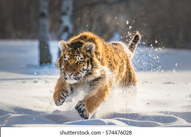 Siberian Tiger running in snow. Beautiful, dynamic and powerful photo of this majestic animal. Set in environment typical for this amazing animal. Birches and meadows.
