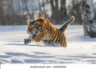 Siberian Tiger running in snow. Beautiful, dynamic and powerful photo of this majestic animal. Set in environment typical for this amazing animal. Birches and meadows. Nice sunny winter day.