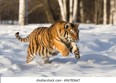 Tiger Chasing Prey Clipart
