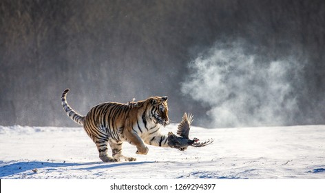 Siberian Tiger running in the snow and catch their prey. Very dynamic photo. China. Harbin. Mudanjiang province. Hengdaohezi park. Siberian Tiger Park. Winter. Hard frost. (Panthera tgris altaica)