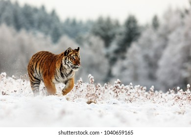 Siberian tiger is running in the snowy taiga