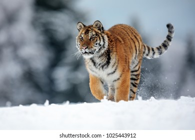 Siberian tiger is running in the winter snowy nature