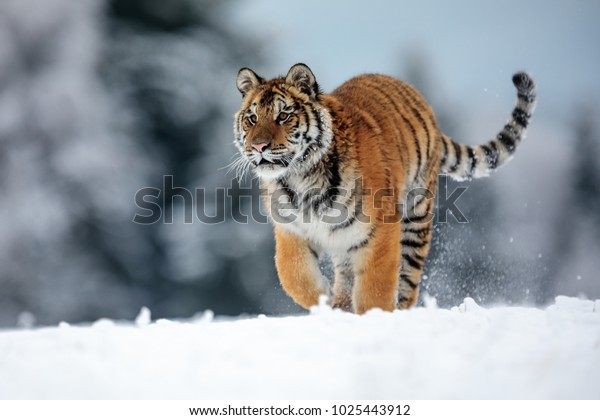 siberian-tiger-running-winter-snowy-600w