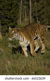 Siberian Tiger runs by the woods