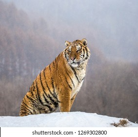 Siberian tiger sits on a snowy hill against the background of a winter forest. China. Harbin. Mudanjiang province. Hengdaohezi park. Siberian Tiger Park. Winter. Hard frost. (Panthera tgris altaica)