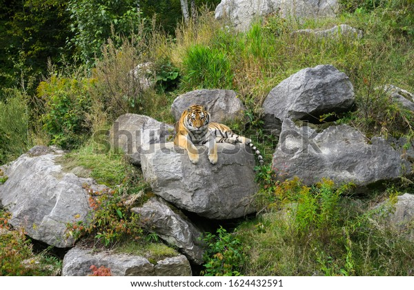 siberian-tiger-sitting-on-rock-600w-1624