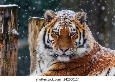 Siberian tiger with snow