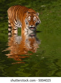 A siberian tiger stepping into water with rippled reflection. Digitally manipulated