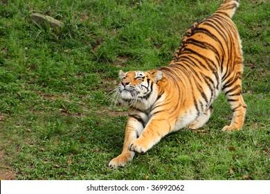 Siberian Tiger Stretching