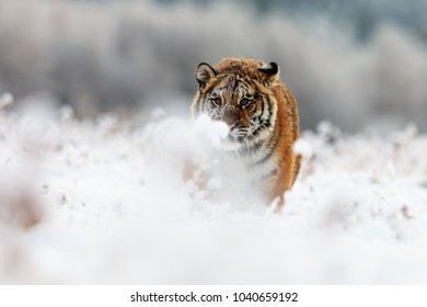 Siberian tiger very close up and denagerous