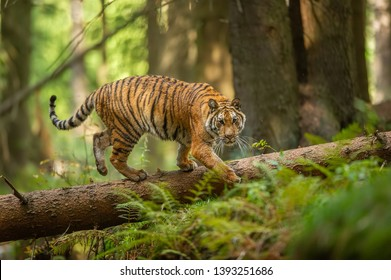 Siberian tiger walking on a fallen tree in taiga. Jungle forest with dangerous animal. Panthera tigris altaica