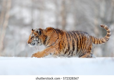 Siberian tiger walking in the snow. Winter scene with amur tiger. Wildlife from nature on taiga, Russia.