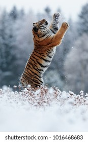 Siberian tiger wants to hunt high-air prey in deep snow