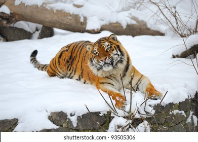 Siberian tiger what sits on snow