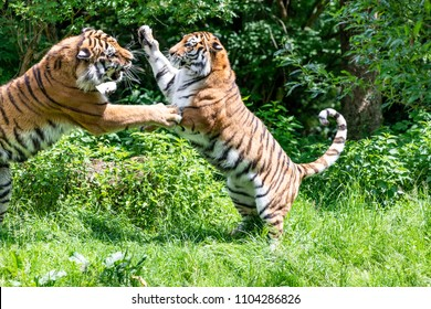 Siberian Tigers are fighting each other in wilderness on green backgroung
