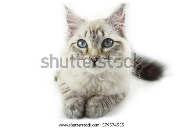 Siberian white beige kitten cat with blue eyes sitting and looking forward