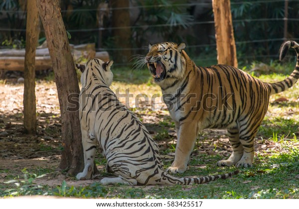 The siberians are playing on ground in nation zoo very fun.