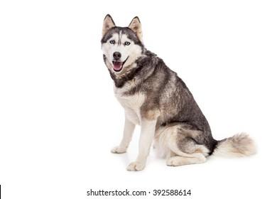 Siberien husky dog on a white background.