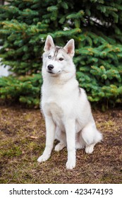 Sibirian husky sitting at the yard