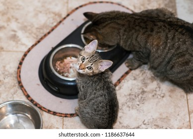 Sibling cats eating dinner, with smallest kitten distracted briefly to look into camera