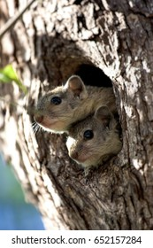 Sibling squirrels huddle together peering out of their nest